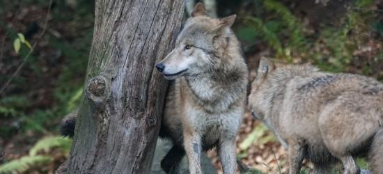 W Bieszczadach strach przed tragedią. 6 rozszarpanych psów (DRASTYCZNE FOTO)